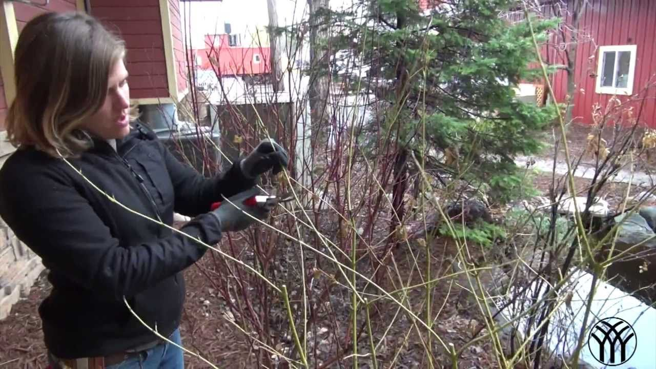 How To Prune Pine Bushes Cucumber Plant Growing Shrubs Dogwood Trees
