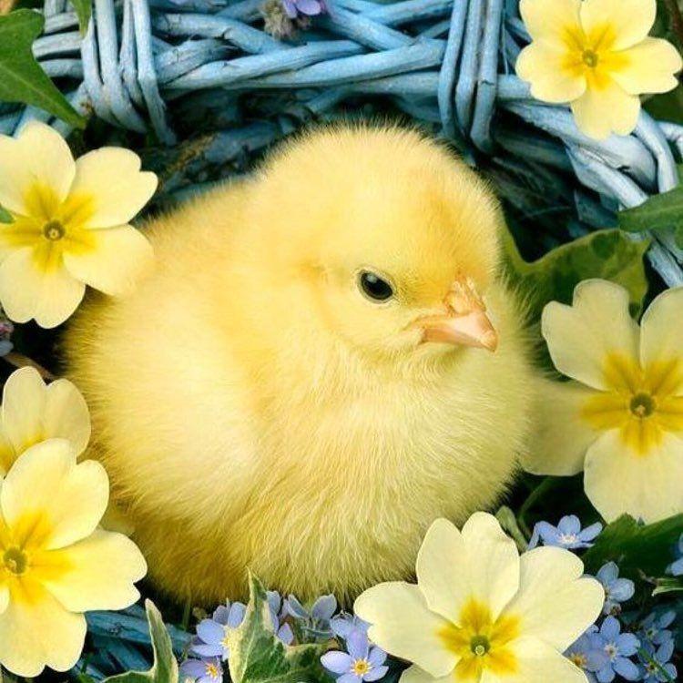 Желтые цыплята в картинках