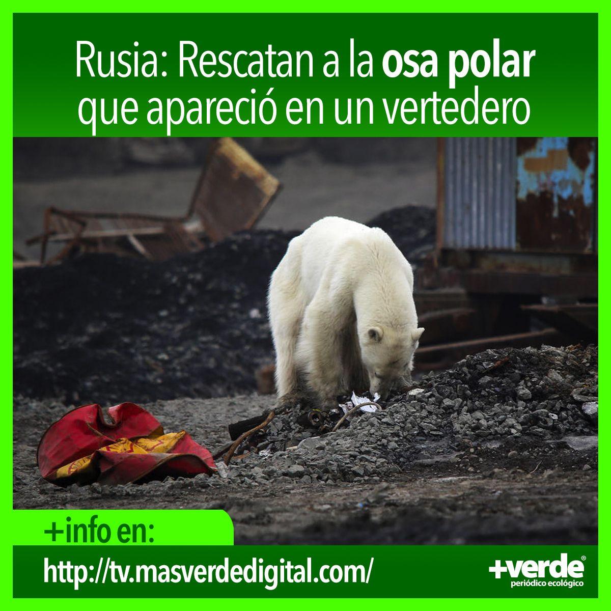 Rusia Rescatan A La Osa Polar Que Apareció En Un Vertedero Oso Polar Vertedero Polaroid