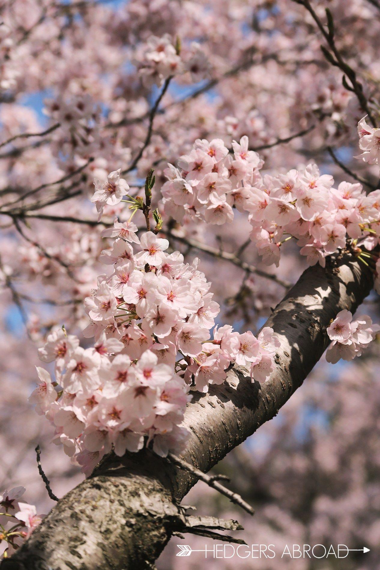 How To See The Hwagae Cherry Blossom Festival Hedgers Abroad Cherry Blossom Festival Cherry Blossom Season Flower Festival