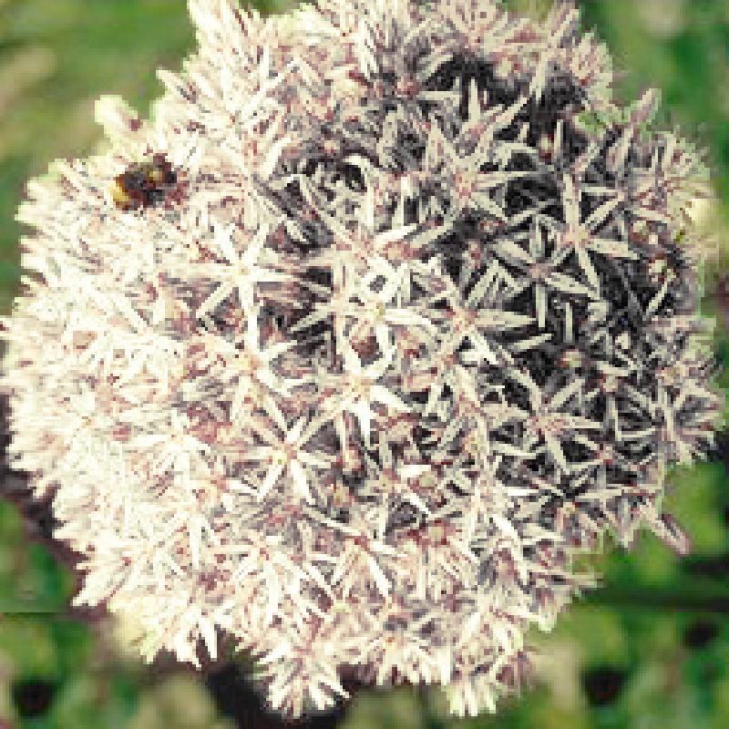Img Allium Mont Blanc De La Pepiniere Lepage Plante Vivace