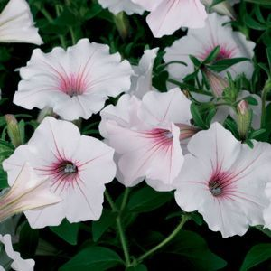 Superior Buy Petunia Supertunia Vista Silverberry Annual Plants Online. Garden  Crossings Online Garden Center Offers A