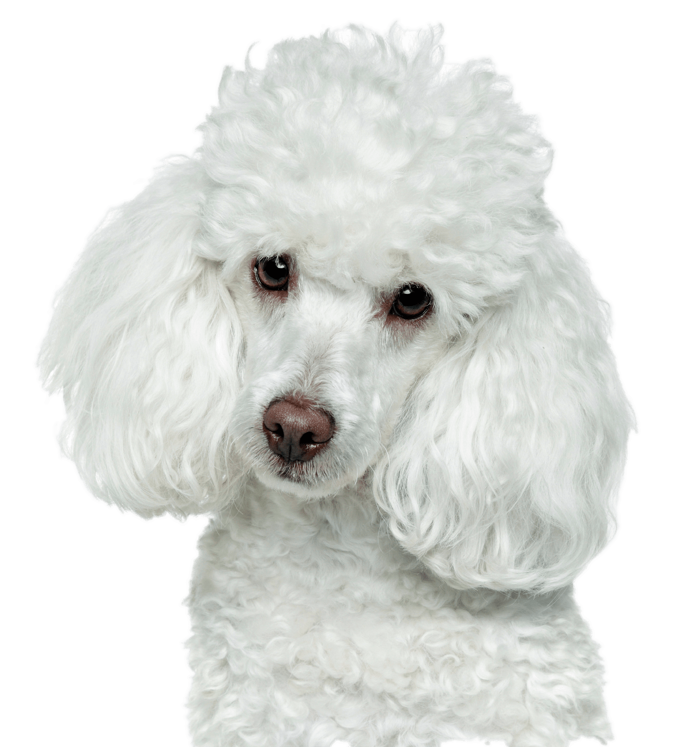 Dog Mammal Vertebrate Canidae White Dog Breed Poodle Toy Poodle Miniature Poodle Carnivore Standard Poodle Non Sporting Group White Dog Breeds Poodle Dog Dogs