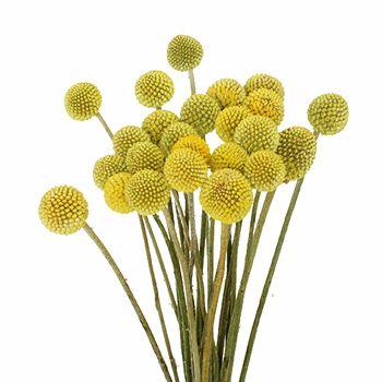 Craspedia Billy Balls Yellow Flower Fiftyflowers Com Yellow Flowers Flower Arrangements Unique Wedding Flowers