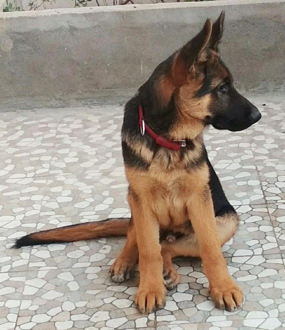 What A Gorgeous Little Boy German Shepherd Puppy