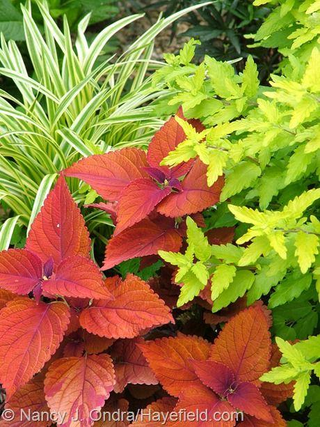 Solenostemon (Coleus) 'Sedona' with Caryopteris incana 'Jason' [Sunshine Blue] and Liriope muscari 'Variegata'. Mix your annuals and perennials.