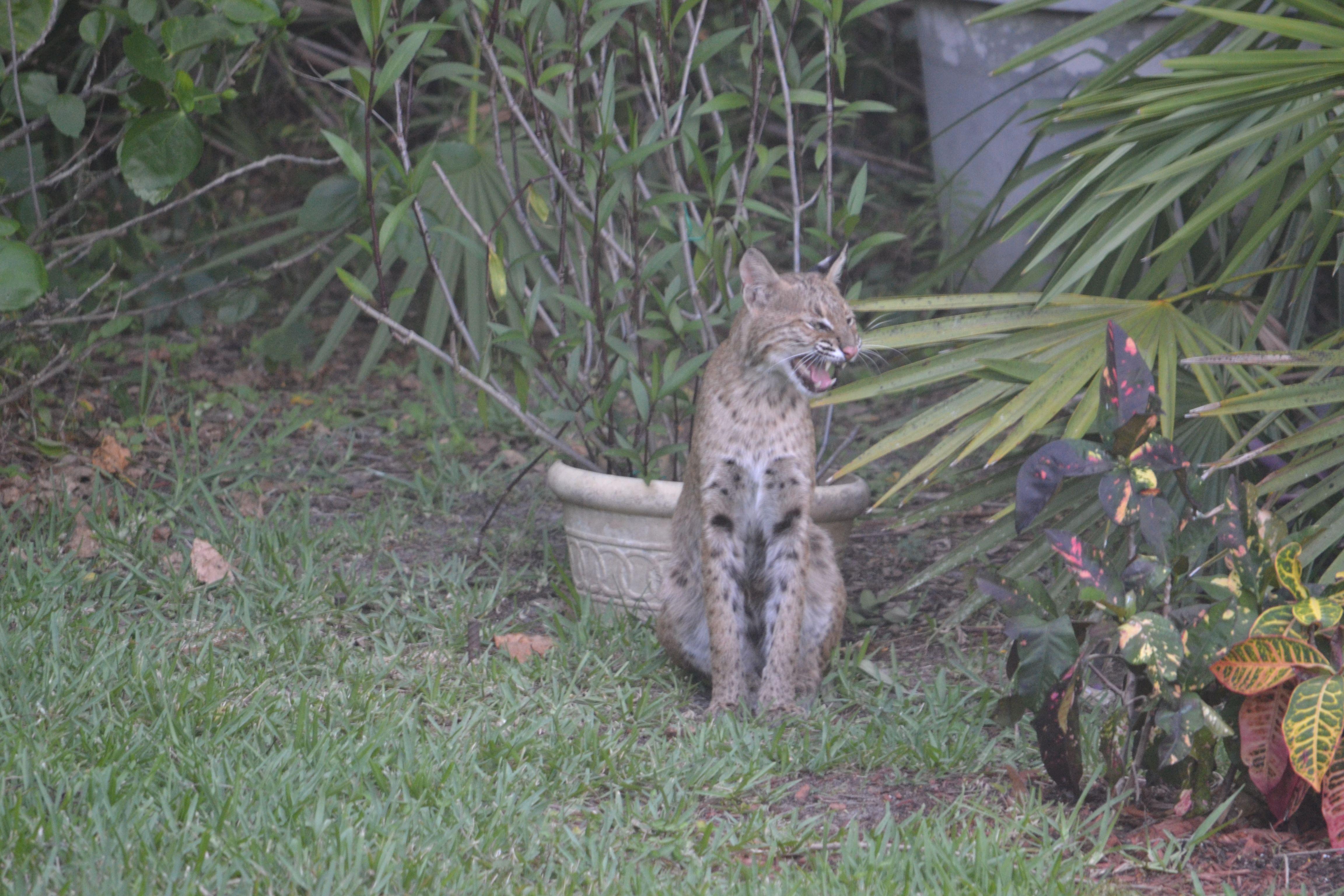 bobcat north american lynx in back yard lakeland fl