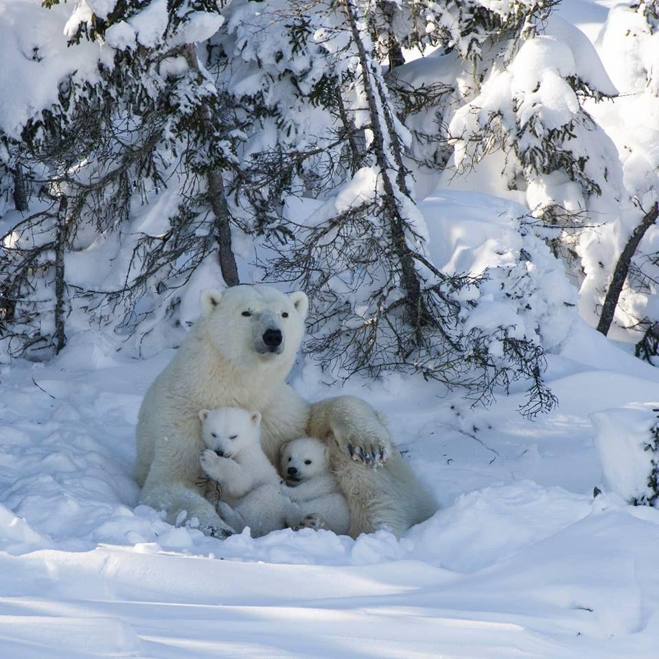 инициативу, фото белого медведицы с медвежатами типичный