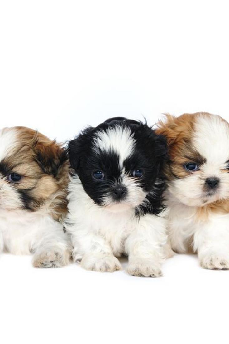 A Group Of Three Shih Tzu Puppies In Studio On A White Background Shihtzu Shih Tzu Puppy Baby Shih Tzu Puppy Baby Shih Tzu