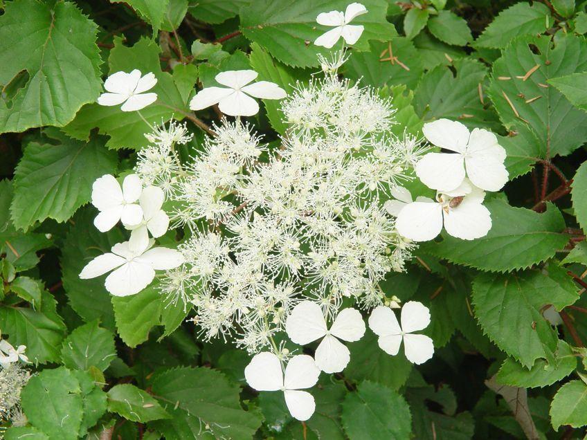 Pictures Of Hydrangea Varieties