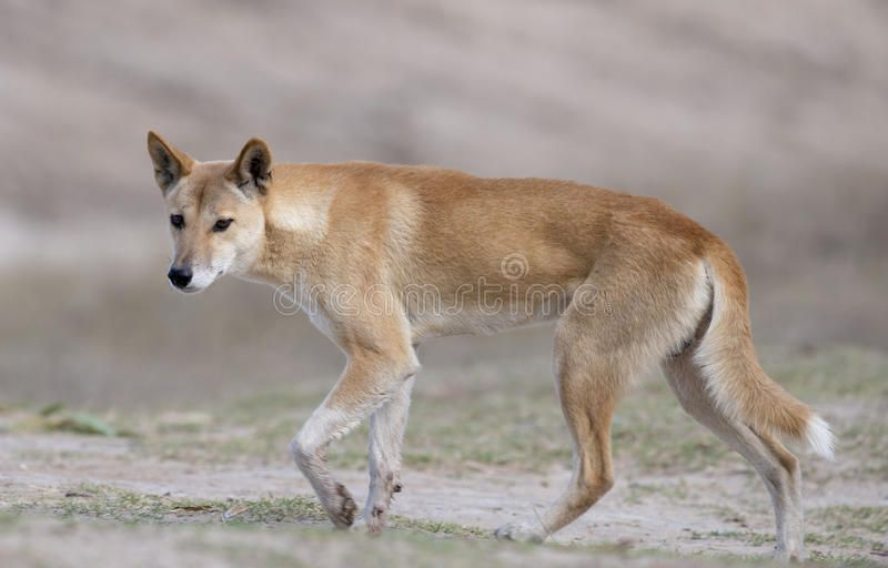 Dingo. Australian wild dog the dingo in the desert country