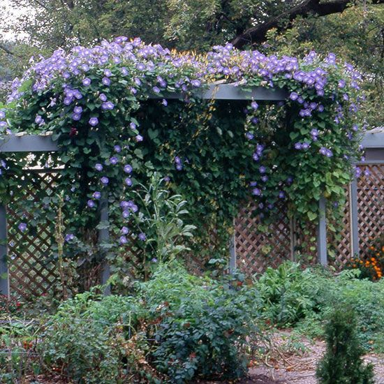 Get Detailed Growing Information On This Plant And Hundreds More In Bhg S Plant Encyclopedia Morning Glory Flowers Morning Glory Vine Garden Vines