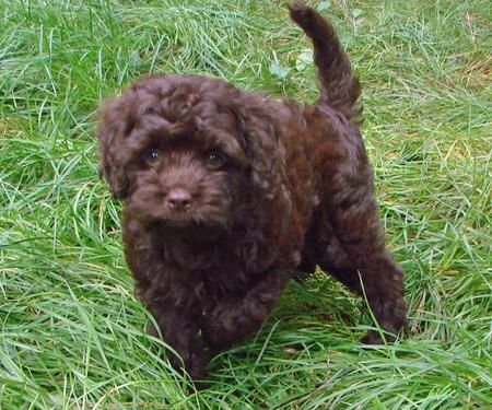 Chocolate Poodle Puppy With Images Puppies Poodle Mix Puppies