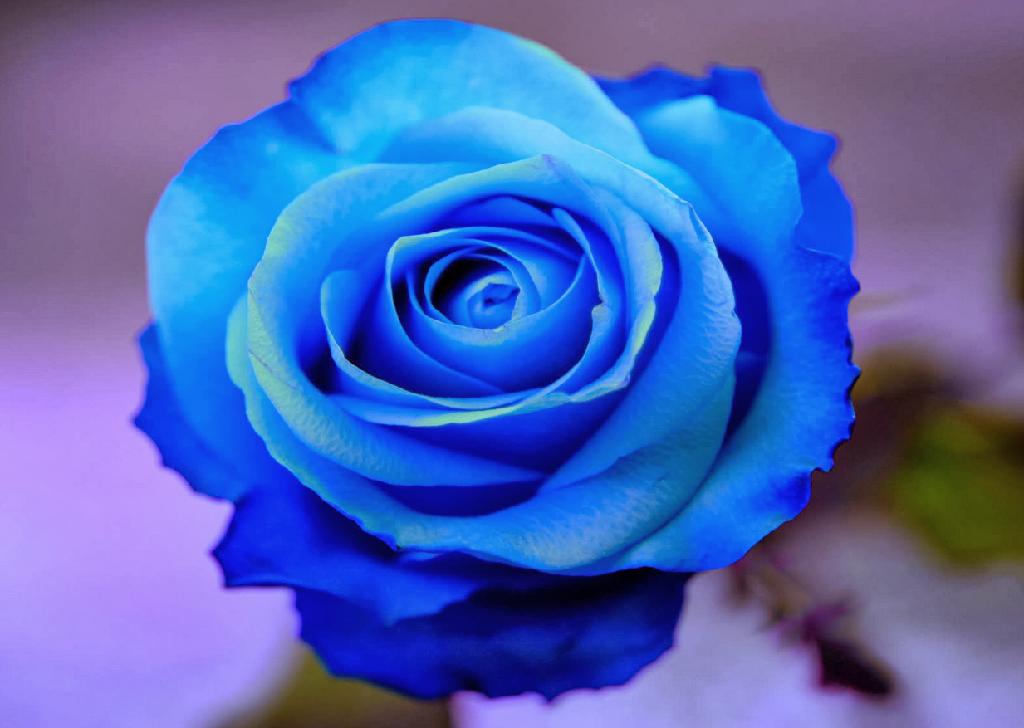 「Rose」おしゃれまとめの人気アイデア Pinterest Blue queen バラの壁紙, きれいなバラ