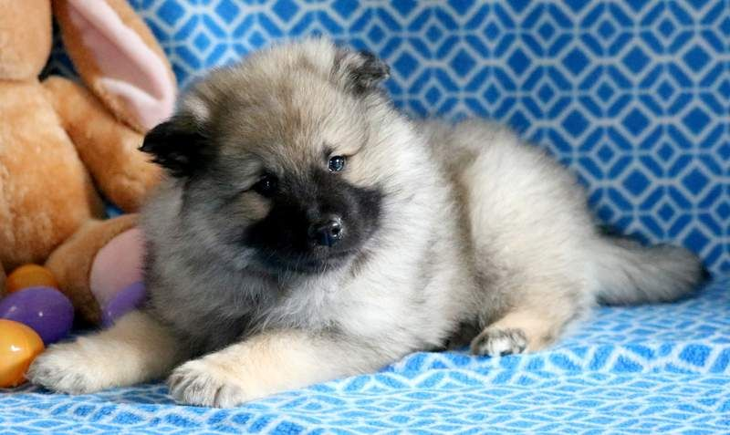 Keeshond Puppy For Sale In Mount Joy Pa Adn 68756 On Puppyfinder Com Gender Male Age 7 Weeks Old Puppies For Sale Keeshond Puppy Puppies