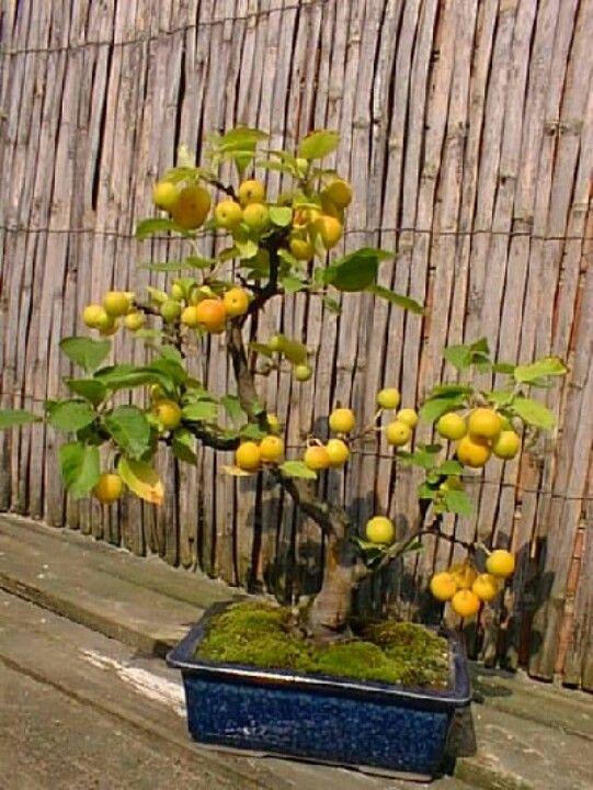 Bonsái frutas