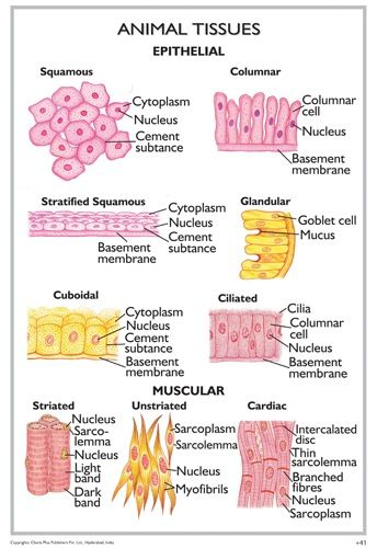 Animal Tissues Study Biology Medical School Studying Tissue Biology