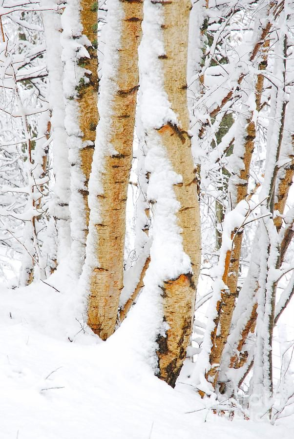 Snow Covered Birch Trees | Winter Song ♪ (Shared Board) | Pinterest ...