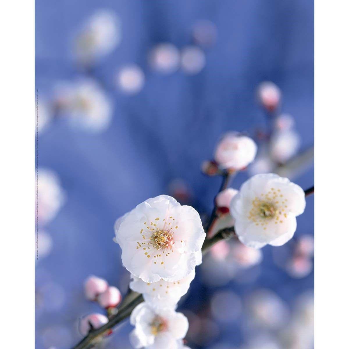 Hauteur Cerisier Du Japon affiche cerisier en fleur, japon - 40x50 cm | fleur de