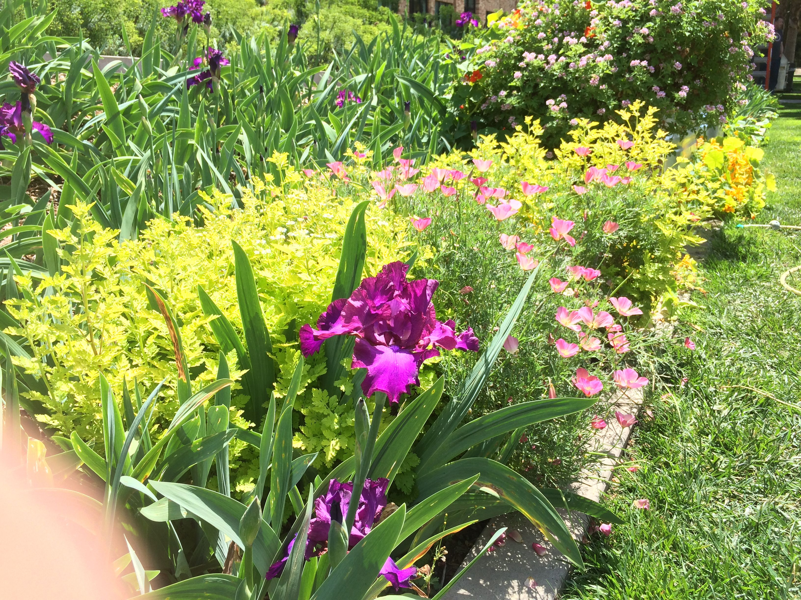 Spring flower show: Bearded iris, pink Ca poppy, golden feverfew ...