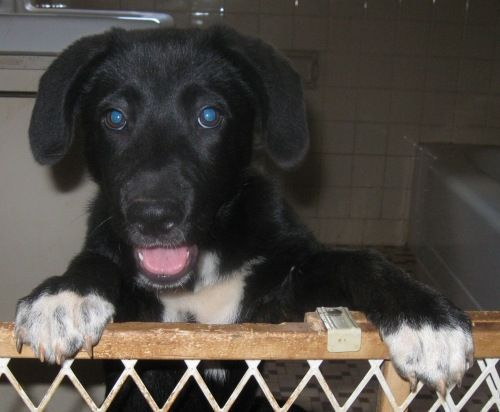 Find Your Perfect Pet The Shelter Pet Project Pets Border Collie Lab Mix