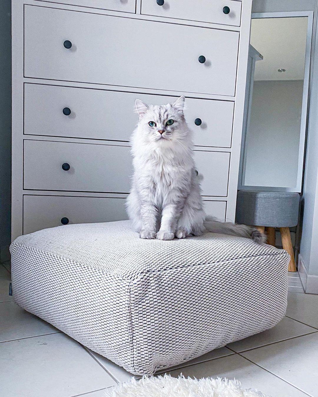 """Mowgli ❄️ on Instagram: """"coucou les copains, je suis de retour !! Votre dose de mignonnerie vous avait manqué ?? 🐱 #catsofinstagram #catlife #kitten #persiancat…"""""""