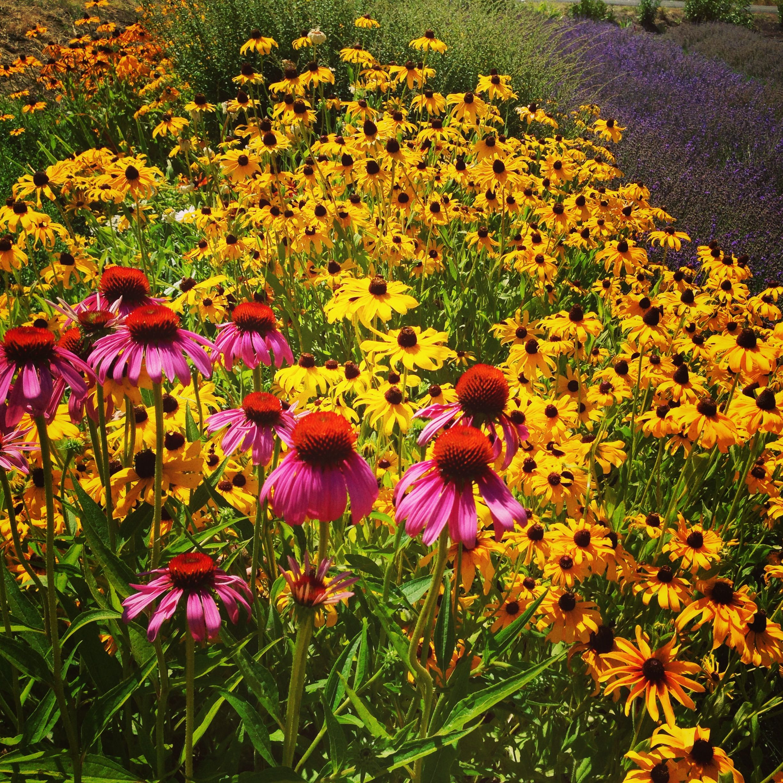 Home Black eyed susan, Beautiful flowers, Wild flowers