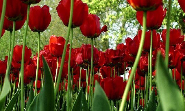 tulipas - Bing Imagens