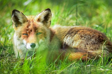 A stare competition with a fox by Konsta Punkka