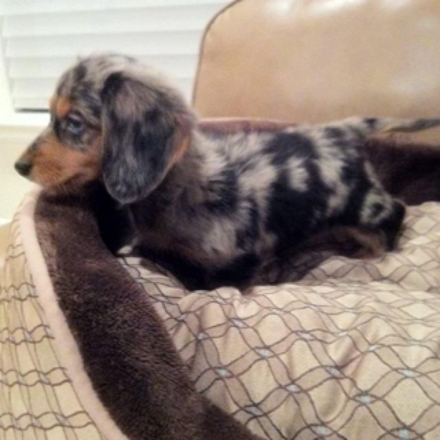 I Want This Color Of Weenie Dog Just Short Haired Weenie Dogs