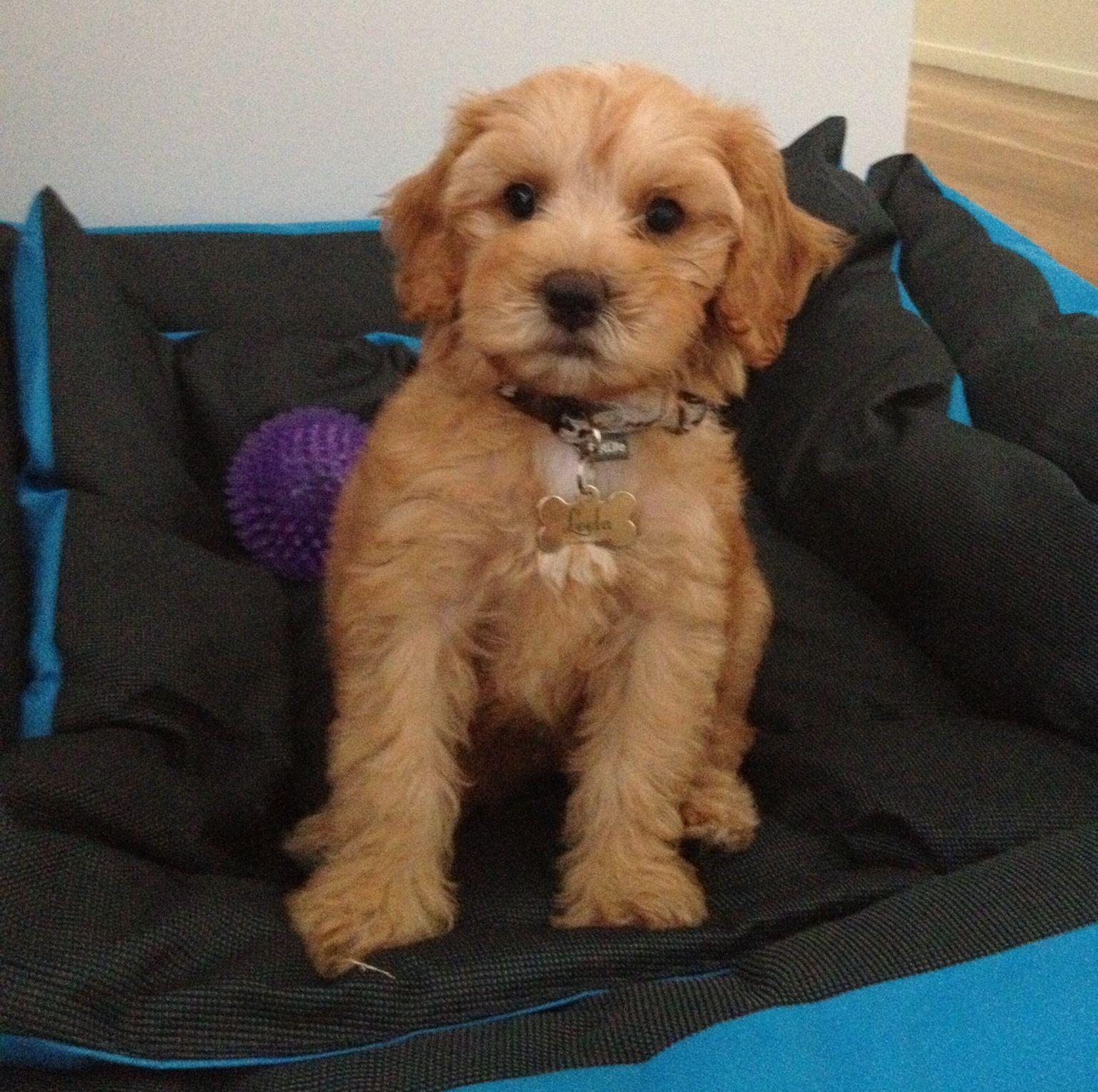 Tamaruke Daria (Leela) our 9 week old Australian