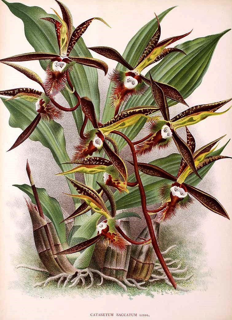 orqu c3 addea catasetum saccatum lindenia iconographie des