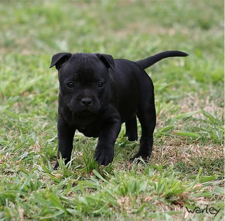 Staffy Puppy Staffordshire Bull Terrier Puppies American