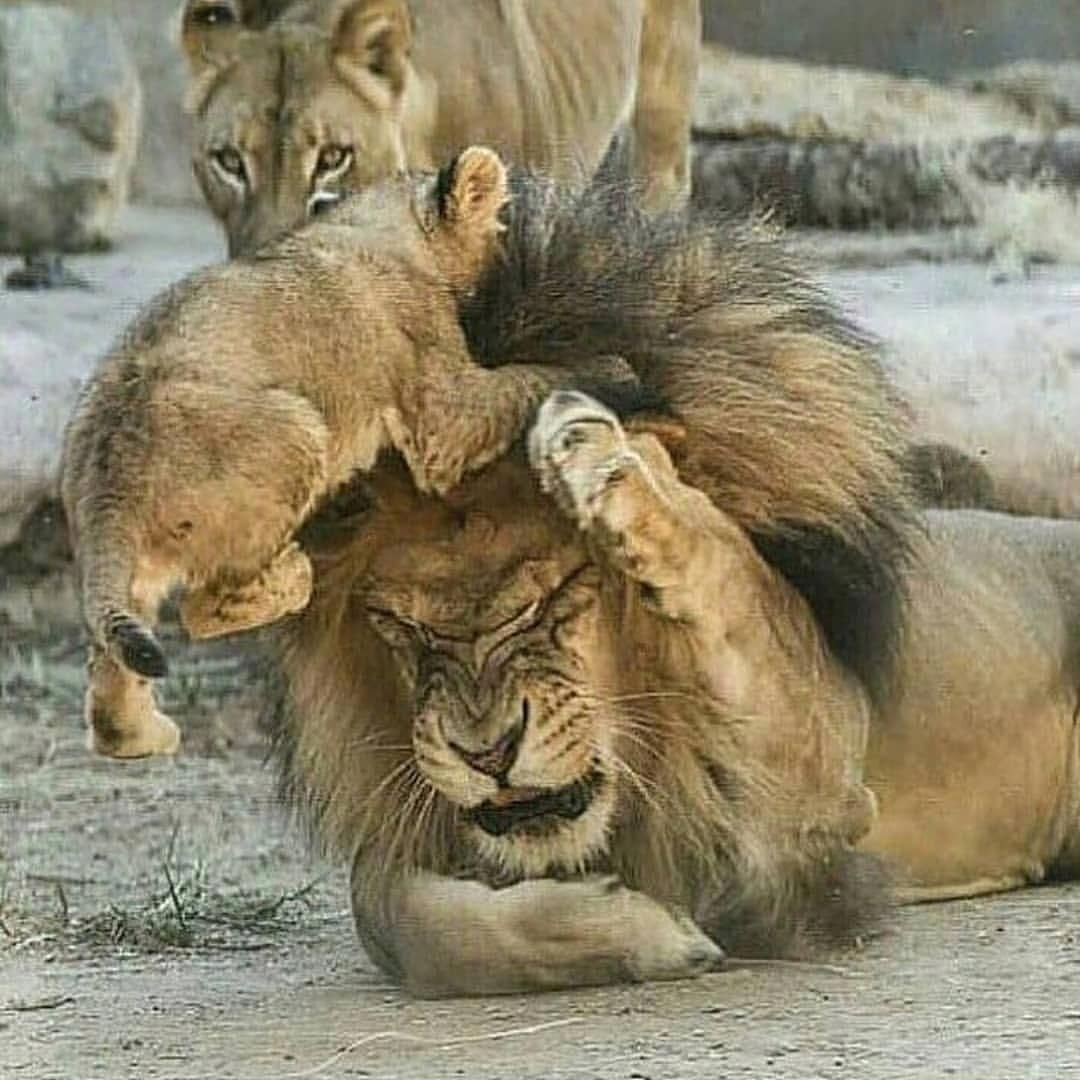 Play With Me Daddy Lionsbible Beautifulcatspics Cute