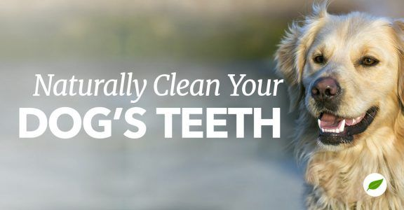 How to Clean your Dog's Teeth Naturally Dog teeth, Dog