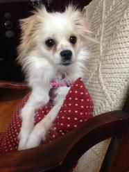 Christy Chihuahua Pet Search Pets Papillon Mix
