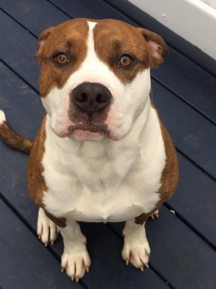 Adopt Apache On Petfinder Dog Pounds Dog Adoption Pitbull Dog