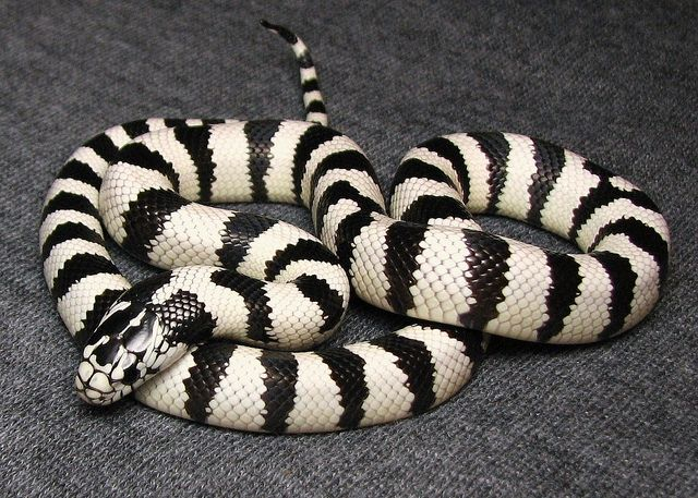 Wide white banded California kingsnake   California king snake, Pet snake, Pretty  snakes