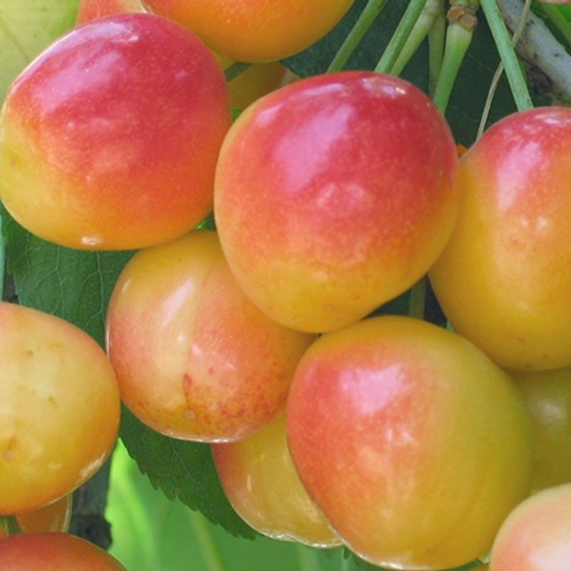 Rainier Cherry Tree Dwarf 19 99 Zone 5 9 700 Chill Hours 05 20 To 06 10 Harvest Yellow Red Blush Fruit Sweet Flavor Pollinated By Van