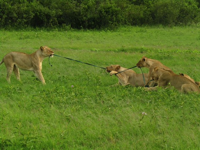 Video: lion tug of war - Africa Geographic
