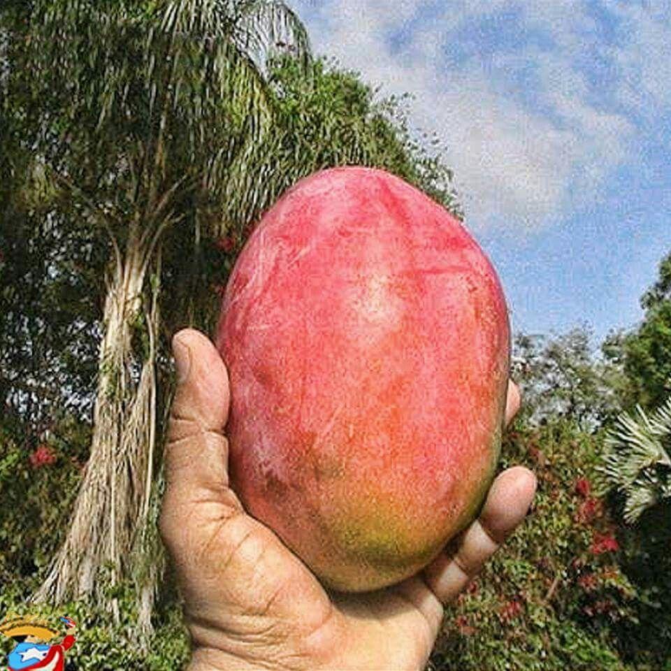 mango de pi  a   mi favorito    mango de pi  a   mi favorito     m negr  n      puerto rico      pinterest  rh   pinterest