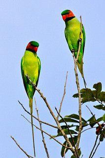 Long-tailed Parakeets (Psittacula longicauda)