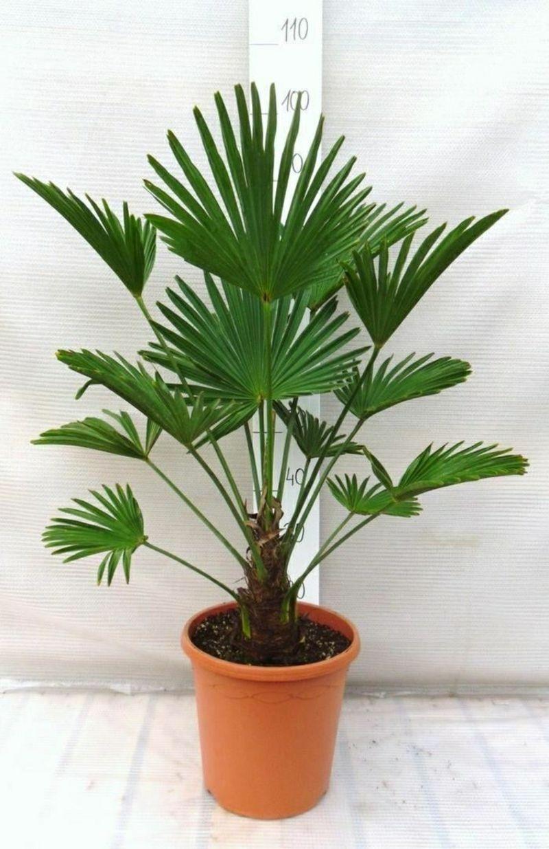Entzuckend Palmenarten Innenbereich Hanfpalme