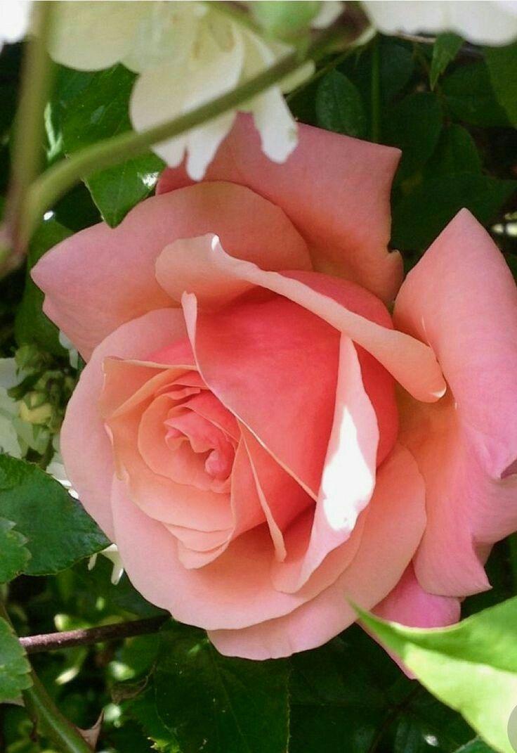 Pin By Roxanne Elmlinger On Roses