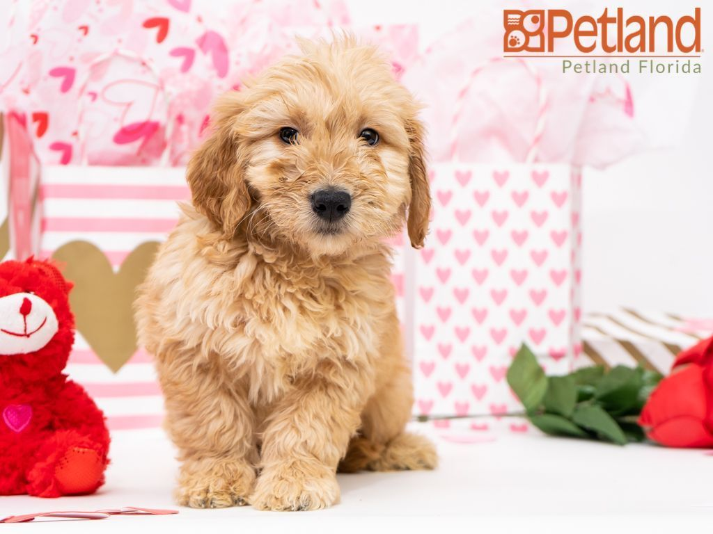 Puppies For Sale Goldendoodle Puppy For Sale Miniature