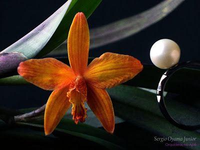 Mini-orquídea Sophrolaelia Marriotiana