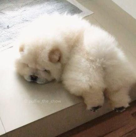 14 Adorable Chow Chows That Can Bright Your Day In 2020 Fluffy