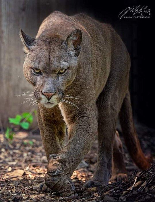 Kugar Puma Habitat America The North Mountain Lion Predator And Beautiful Animalkingdombigcats In 2020 Animals Animals Wild Animals Beautiful