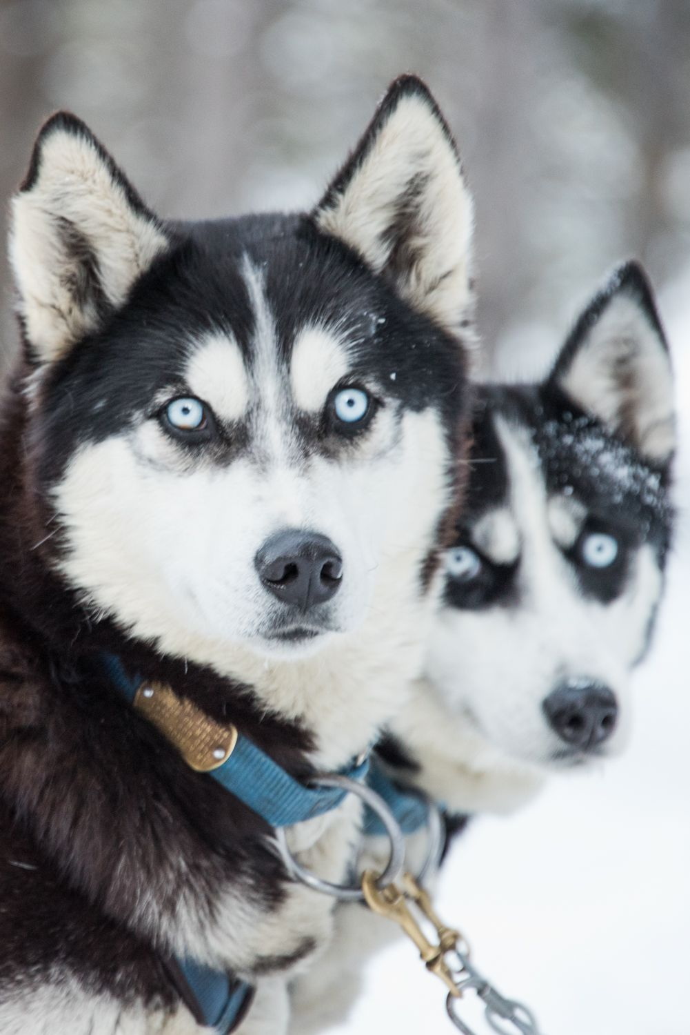 A Pair Of Siberian Husky Dogs Part Of A Dog Sledding Team In