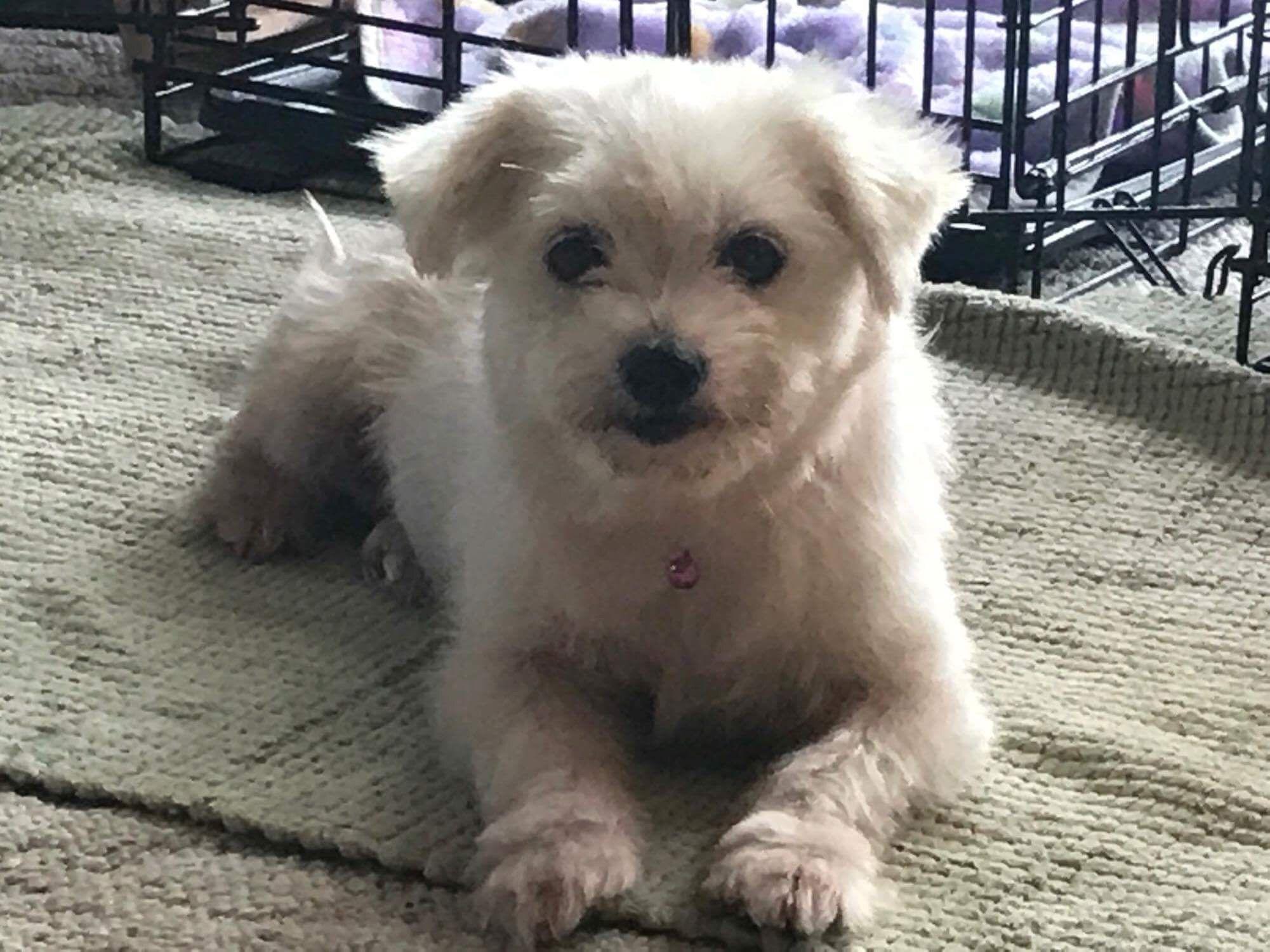 Maltese dog for Adoption in Buffalo, NY. ADN675568 on